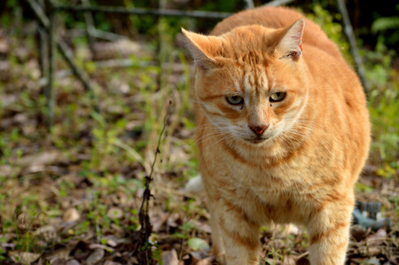 defensive posture: Yellow orange tabby in standing in a defensive posture Stock Photo