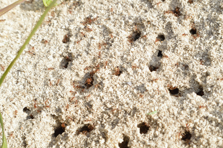 queen bed: Closeup of a fire ant hill with ants working busily. Stock Photo
