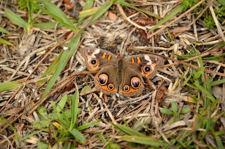 buckeye: Common Buckeye butterfly, landed upon the ground and hidden in its surroundings.