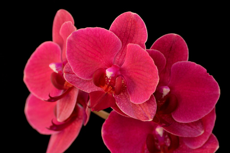 orchidaceae: Beautiful hot pink moth orchid (or phalanopsis orchidaceae) against a black background.