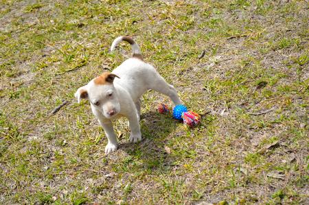 チュートイ、彼の頭をかしげと庭で遊び心混合された品種ピットブル子犬