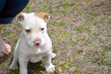Spotted, mixed breed, pitbull puppy, sitthing in yard next to a persons feet