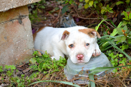 Pouty and sleepy mixed breed pitbull puppy, laying in bushes by concrete porch, with head resting on clear plastic container