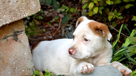 Mixed breed pitbull puppy laying in bushes by concrete porch.