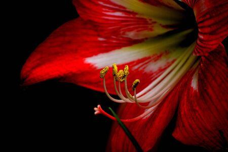 Closeup of a vibrant red and white striped amaryllis bloom against a shadowy black background. Vivid and passionate floral image.
