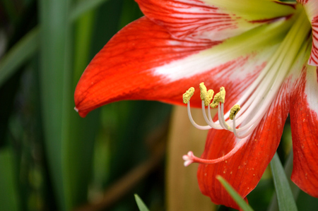 Closeup of a red and white striped amaryllis flower blooming in a flower garden outdoors.