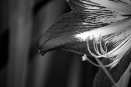 Black and white image of a striped amaryllis flower against foliage background 写真素材