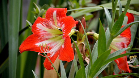 Red and white striped amaryllis flower blooming in a flower garden outdoors. 写真素材
