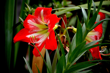 Red and white striped amaryllis flower blooming in a flower garden outdoors. Stok Fotoğraf