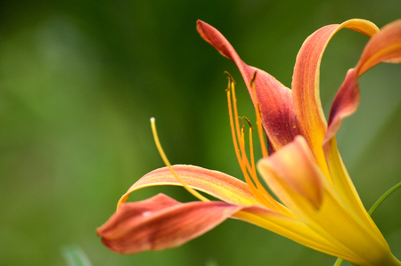 Daylily bloom, Galaxy Explosion variety, blooming outside in flower garden. Yellow, burgundy, and rust colored petals