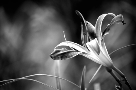 Daylily bloom, Galaxy Explosion variety, blooming outside in flower garden. Black and white photo