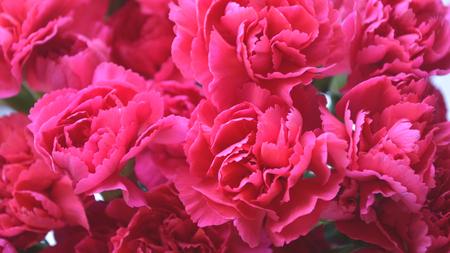 Bright pink carnations, cut flower arrangement. 版權商用圖片