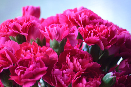 Bright pink carnations, cut flower arrangement. 写真素材