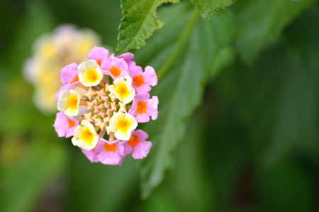 Pretty pink and yellow Lantana Camara umbels blooming. Butterfly garden flower, in bright sunshine with green background.
