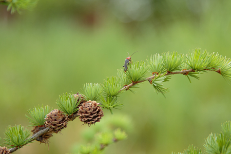 the miniature Herringbone with little brown cones Stock Photo