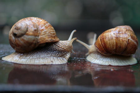 lovemaking: Two running snails - look like they were chasing, although it was really a form of courtship Stock Photo