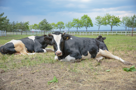 creamery: two relaxed cows lying on misty pasture in grass