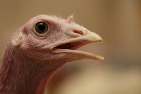 Close-up portrait Head of turkey at the farm