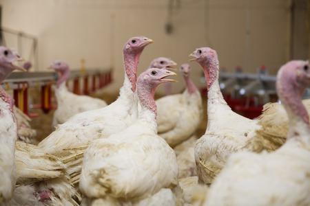 Turkey on a farm , breeding turkeys. Flock of Turkeys at the farm.