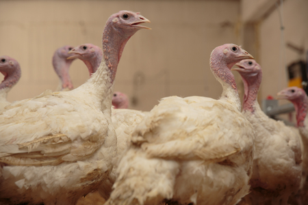 nib: Turkey on a farm , breeding turkeys. Flock of Turkeys at the farm.