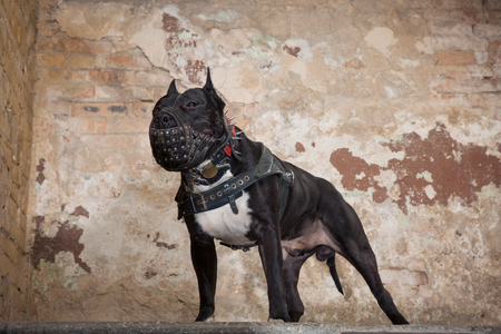 Portrait of black American Pit Bull in muzzle in the studio. Dog seatting over peeled wall background