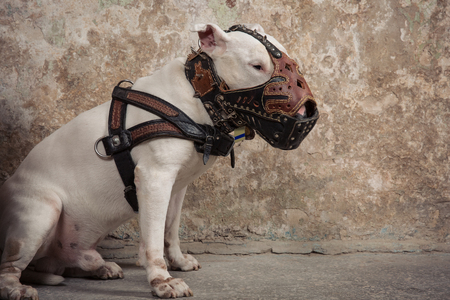 Domestic dog white Bull Terrier breed. Focus on the dog muzzle, shallow depth of field. Dog seatting over peeled wall background