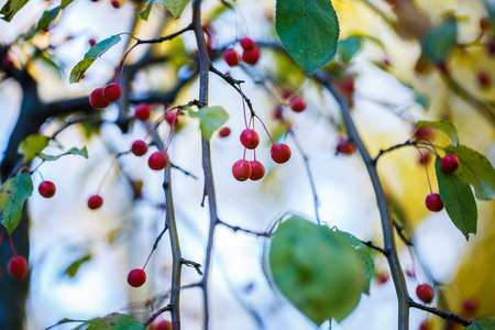 Bright hips of red berriea on branches. Autumn in the forest. A gloomy autumn sky. Stock Photo