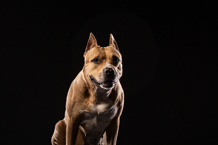 A red pit bull on a black background. Dog portrait. Copy space