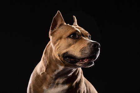 Attentive pit bull close up studio shot black background copy space