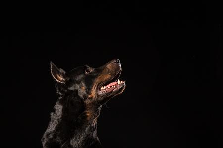 Portrait of beautiful black male doberman dog on black background. Copy space Banque d'images - 103444973
