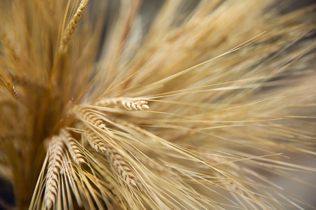 Wheat spikelets in the fall. Blur background