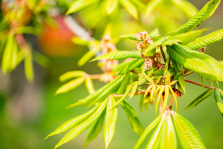 The Green Chestnut tree leaves in sunlight Spring blurry background with fresh green leaves of horse chestnut Фото со стока
