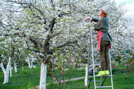 Work in the garden. Spring care for blooming trees. Imagens