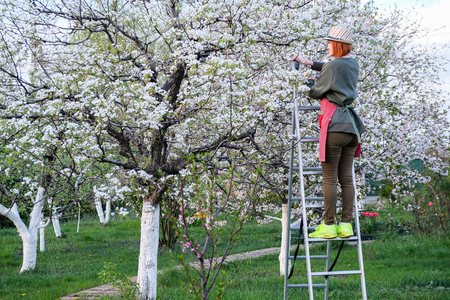 Female farmer staying on on the stepladder gathering beetles from a pear or apple tree