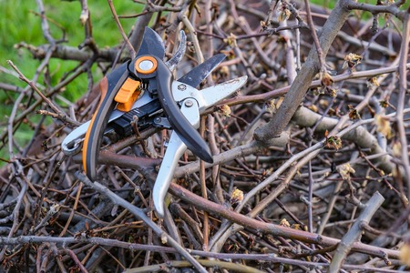 Secateurs hanged on a pear branch. Pruning pear branches pruners. 写真素材