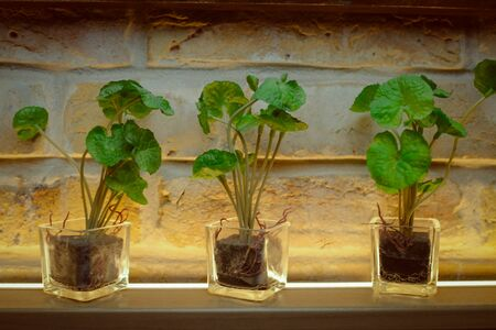 Golden pots in glass container and brick wall loft style.