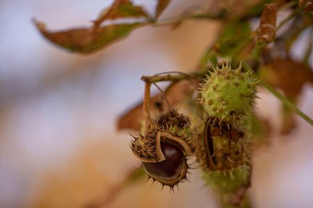 Horse-chestnuts on conker tree branch - Aesculus hippocastanum fruits in autumn. chopped chestnut on a branch