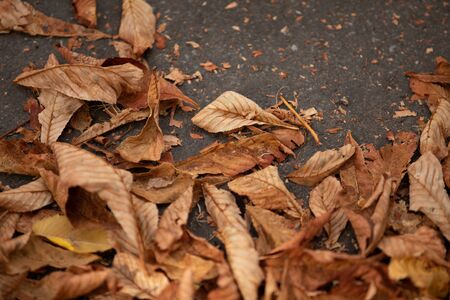 Yellowish dried leaves fall on black asphalt during hot days. autumn