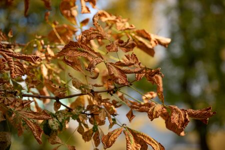 Chestnuts leaves in autumn on the sky 스톡 콘텐츠