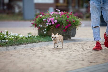 Cute Chihuahua At The Street on a walk. host feet in frame