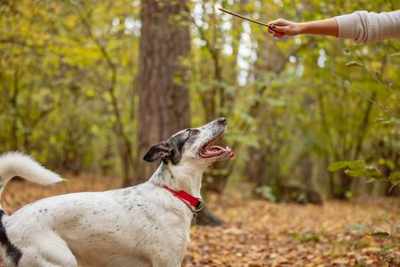Portrait of black and white dog with focused gaze looking at human hand holding stick. the owner plays with a dog in the autumn forest