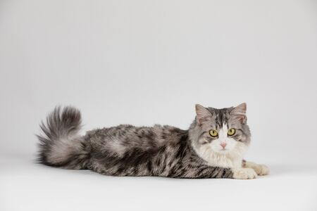 gray cute cat looking to the camera lies on the floor on white background