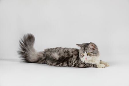 gray cute cat lies on the floor on white background