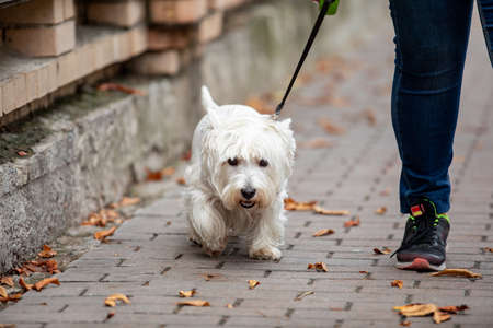 A funny white lapdog on a leash wolking with the owner on a sidewalk in autumn. dog walking