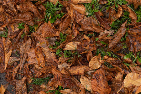 The background of the fallen autumn leaves. A carpet of dry leaves in October under your feet. dry foliage lies on green grass