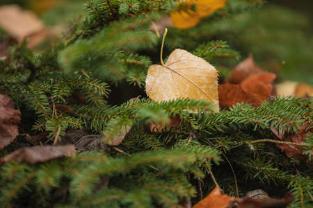 dry leaves lying on spruce branches, cropped image, selective focus. Natural, autumn foliage, christmas or autumn concept Archivio Fotografico