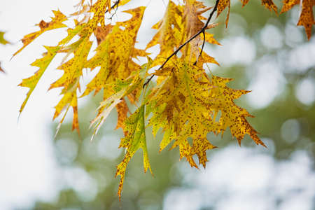 Autumn yellow maple leaves and blue sky background outdoor at the park