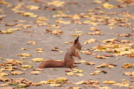 squirrel with a nut in his mouth in the fall. squirrel in the park on the asphalt among fallen autumn leaves 版權商用圖片