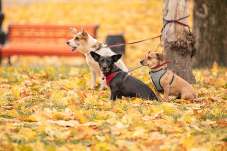 Three Dogs Tied To The Tree And Waiting On Leash. three dogs in the autumn park. yellow fallen leaves around