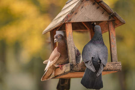 two pigeons are sitting in a bird feeder in the form of a house. Autumn